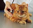 Médecine Auscultation Chat